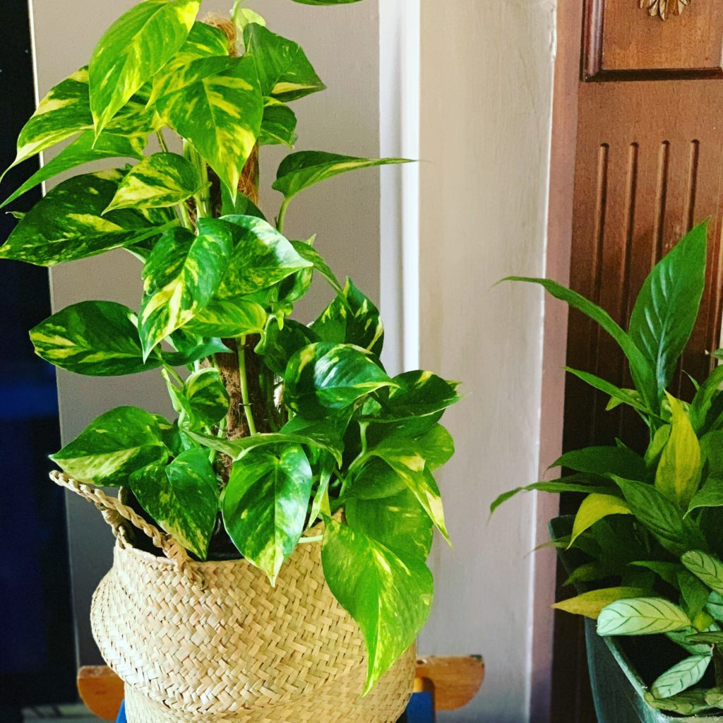 Diwali Money plant Pothos